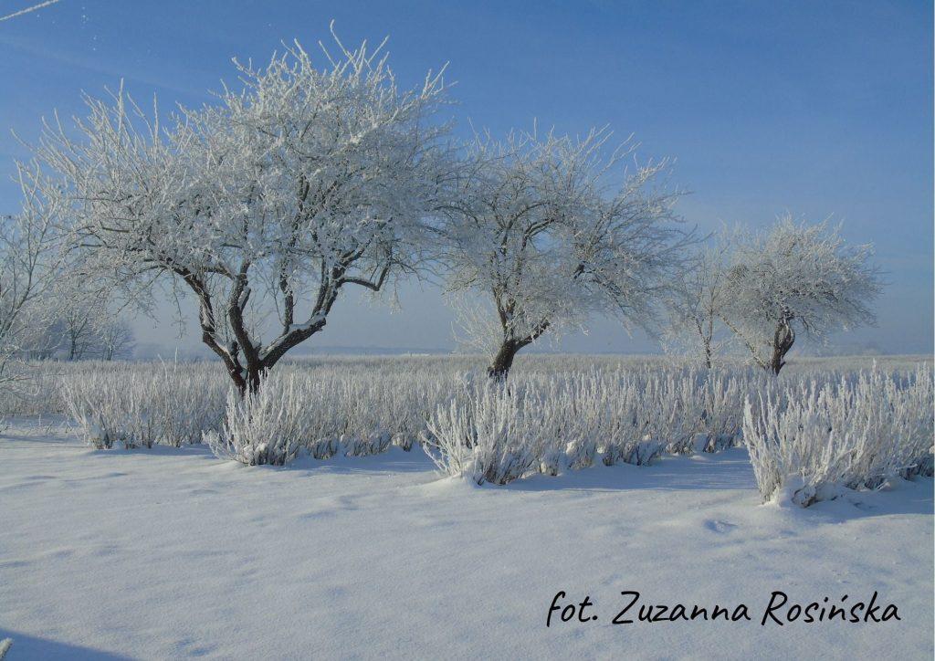 trzy drzewa pokryte śniegiem na tle niebieskiego nieba